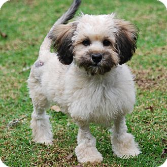 Los Angeles, CA - Lhasa Apso/Yorkie, Yorkshire Terrier Mix ...
