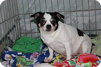 Chihuahua Dog for adoption in New Richmond,, Wisconsin - Rayna