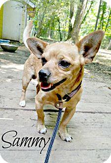 Chihuahua/Dachshund Mix Dog for adoption in Willingboro, New Jersey - Sammy