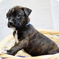 Adopt A Pet :: Dash - Houston, TX