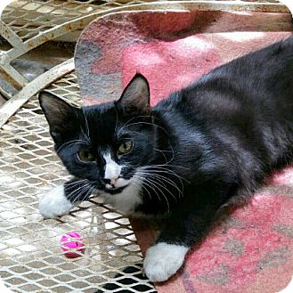 Domestic Mediumhair Kitten for adoption in Arlington/Ft Worth, Texas - Jazzy