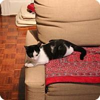 Domestic Shorthair Kitten for adoption in Toronto, Ontario - Mavis