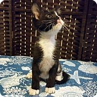 Adopt A Pet :: Shテュ - Chandler, AZ