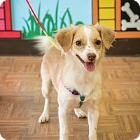 Adopt A Pet :: Dorys - Washington, DC