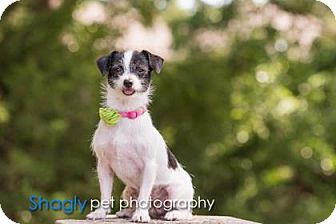 Terrier (Unknown Type, Small) Mix Dog for adoption in Dallas, Texas - Gidget