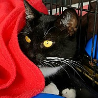 American Shorthair Cat for adoption in Lyons, Illinois - Simon