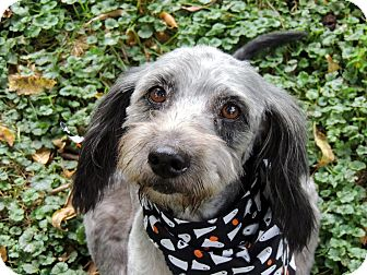 Poodle (Miniature) Mix Dog for adoption in Aurora, Illinois - Shadow