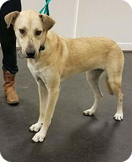 Greyhound Mix Dog for adoption in Valparaiso, Indiana - Lady