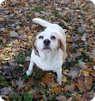 Beagle Dog for adoption in Transfer, Pennsylvania - Princess