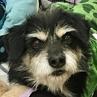 Terrier (Unknown Type, Medium) Mix Dog for adoption in Lancaster, California - Mortimer