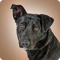 Labrador Retriever/Finnish Spitz Mix Dog for adoption in Prescott, Arizona - Baxter