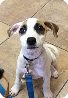 Mixed Breed (Medium)/Jack Russell Terrier Mix Puppy for adoption in San Ysidro, California - Amanda