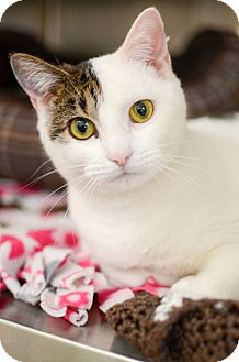 Domestic Shorthair Cat for adoption in Peace Dale, Rhode Island - Poppy