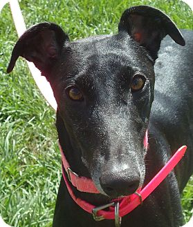 Greyhound Dog for adoption in Longwood, Florida - Gal With A Gun
