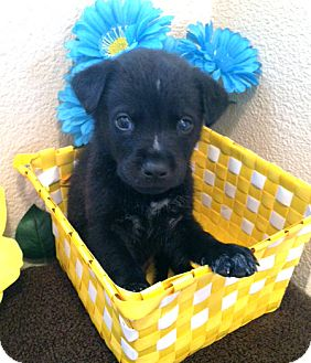 Labrador Retriever/German Shepherd Dog Mix Puppy for adoption in Inglewood, California - Sebastian