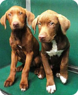 Labrador Retriever/Hound (Unknown Type) Mix Puppy for adoption in Huntsville, Alabama - Little Man