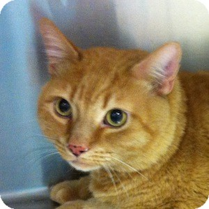 Domestic Shorthair Cat for adoption in Gilbert, Arizona - Sammy