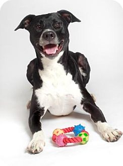Labrador Retriever/American Staffordshire Terrier Mix Dog for adoption in Quitman, Texas - SPENCER
