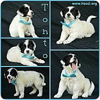 Adopt A Pet :: Tonto - Plano, TX
