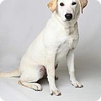 Adopt A Pet :: Rikka Pup - Brattleboro, VT