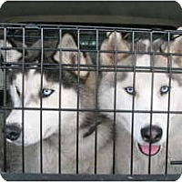 Adopt A Pet :: Tic - Kettle Falls, WA