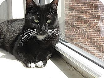 Domestic Shorthair Cat for adoption in Brooklyn, New York - Maxine, Ninja Cutie