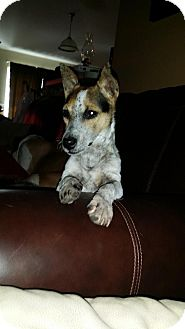 Jack Russell Terrier Mix Dog for adoption in Tampa, Florida - JAX (JW)