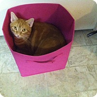 Domestic Shorthair Cat for adoption in Carlisle, Pennsylvania - TigeressCP