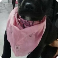 Adopt A Pet :: Piper Ann - Albany, NY