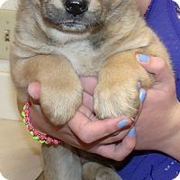 Adopt A Pet :: TEDDY BEAR PUPS F - Corona, CA