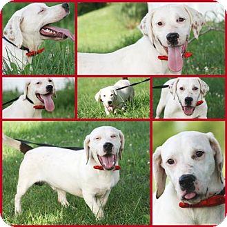 Labrador Retriever/Basset Hound Mix Dog for adoption in Marion, Kentucky - Roscoe * Adoption Pending *