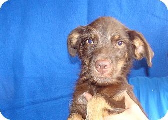 German Wirehaired Pointer/Australian Cattle Dog Mix Puppy for adoption in Oviedo, Florida - Nick