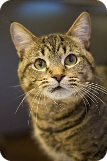 Domestic Shorthair Cat for adoption in Grayslake, Illinois - Abercrombie