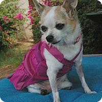 Adopt A Pet :: Chica - Phoenix, AZ