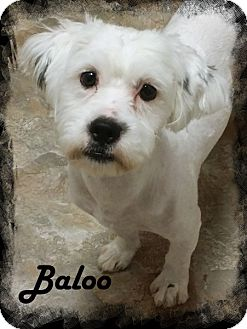 Havanese Dog for adoption in Anaheim Hills, California - Baloo