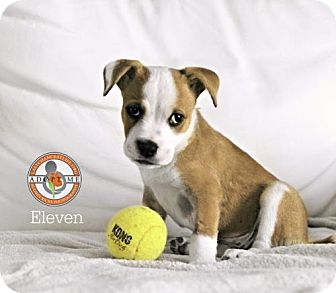 American Staffordshire Terrier/Boxer Mix Puppy for adoption in Oceanside, California - Eleven (Hospice)