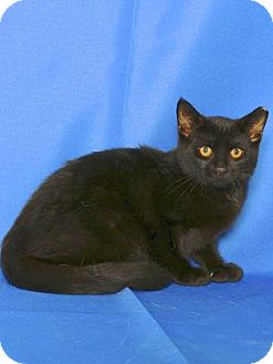 Domestic Shorthair Kitten for adoption in Gloucester, Virginia - BERNIE