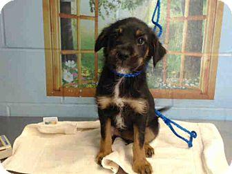 Terrier (Unknown Type, Medium)/German Shepherd Dog Mix Puppy for adoption in San Bernardino, California - URGENT on 10/5 SAN BERNARDINO