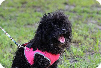 Poodle (Miniature) Dog for adoption in Jupiter, Florida - Oreo