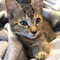 Domestic Shorthair Kitten for adoption in Gainesville, Florida - Chalupa