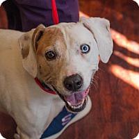Adopt A Pet :: Darcie Blue Eye - Farmington, MI