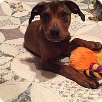 Adopt A Pet :: Ivy Baby - New Oxford, PA