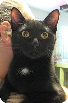 Domestic Shorthair Kitten for adoption in Reeds Spring, Missouri - Draco