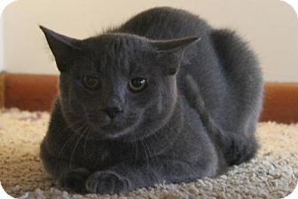 Domestic Shorthair Kitten for adoption in Morehead, Kentucky - Smokie YOUNG MALE
