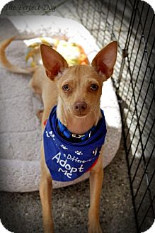 Chihuahua Mix Dog for adoption in Milpitas, California - Riley