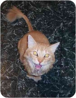 Domestic Longhair Cat for adoption in Summerville, South Carolina - Tigger