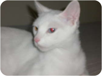 Domestic Shorthair Cat for adoption in lake elsinore, California - Bella