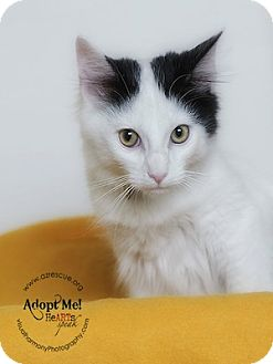 Turkish Van Cat for adoption in Phoenix, Arizona - Spot