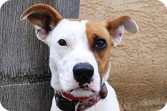 Australian Cattle Dog/American Pit Bull Terrier Mix Dog for adoption in San Diego, California - Sandi URGENT - NEW PICS!