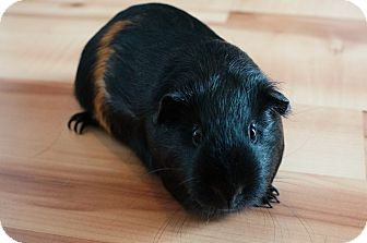 Guinea Pig for adoption in Brooklyn Park, Minnesota - Sienna